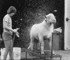 Woman bathing sheep